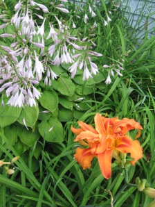 this is a ditch lily. A late bloomer with a fondness for mud.